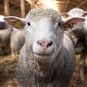 LF RFID can be used for livestock identification